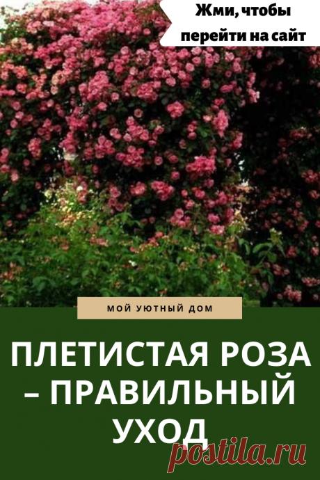Как правильно ухаживать за плетистой розой