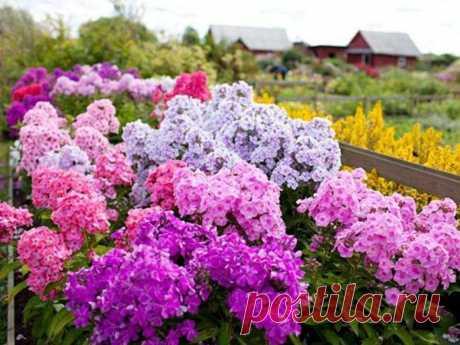 Простые яркие флоксы – достойное украшение любого сада | 6 соток