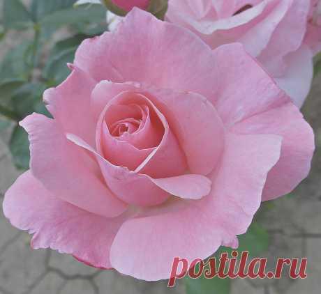 Swe.Var — «Розовые розы» на Яндекс.Фотках