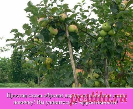 Если на ваших яблонях много мелких плодов и падалицы, которую потом некуда девать, пора обрезать дерево. Если в урожайный год ветки приходится подпирать, потому что они не выдерживают тяжести, - это тоже сигнал, что необходима обрезка.  Качественная обрезка может помочь даже уйти от периодичности молодой яблони, то есть явлению, когда она плодоносит не каждый год.  Есть очень много статей по правильной технике обрезки деревьев, но новичку все равно сложно разобраться во вс...