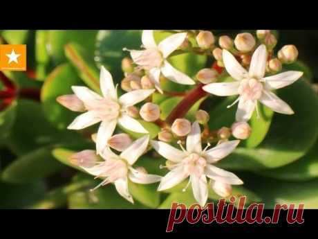 MONETARY TREE: leaving, change how to force to blossom. Sekretiki from the Marmalade Fox. CRASSULA