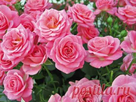 Садовые розы.Еще в конце XVIII — начале XIX веков в результате многочисленных скрещиваний различных видов, в том числе чайных, были выведены гибриды, которые послужили основой современного ассортимента ремонтантных роз. В них соединились признаки родительских растений.