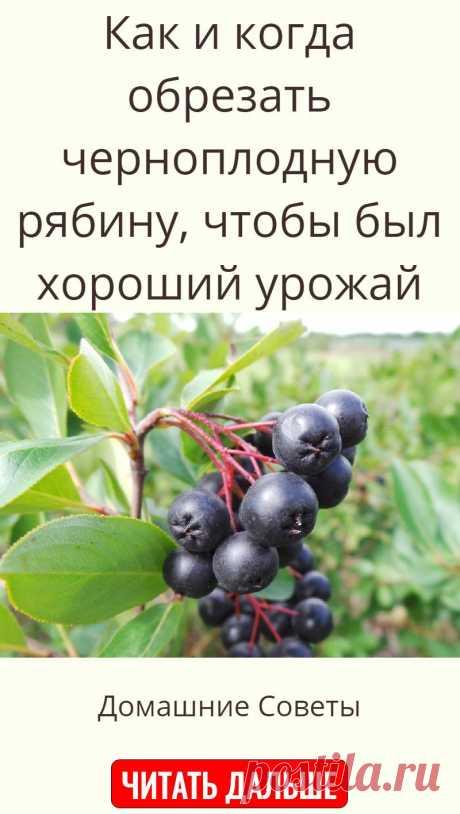 Как и когда обрезать черноплодную рябину, чтобы был хороший урожай