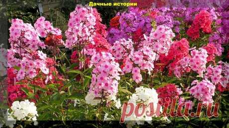 Секреты агротехники, не зная которые, не добиться пышного цветения флоксов. | Дачные истории | Яндекс Дзен