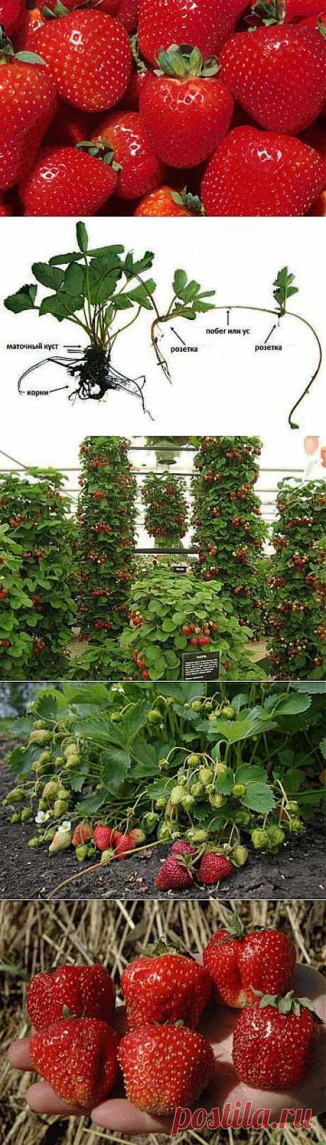 Клубника или земляника - посадка, выращивание и уход. Сорта клубники (земляники садовой).