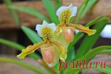 Какую орхидею выбрать новичку – преимущества и недостатки популярных видов   Полезно (Огород.ru)