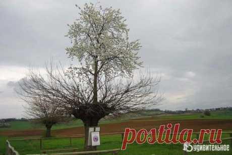 В Италии растёт тутовое дерево, на котором растет вишневое дерево.