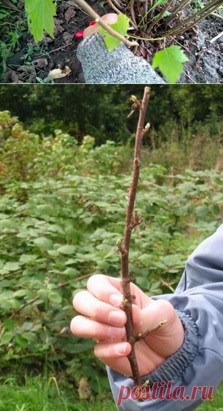 Посадка чёрной смородины черенками (укоренёнными и нет) весной и летом + видео