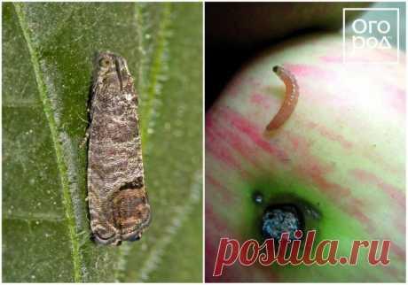 Por qué se desmoronan zavyazi y los frutos sobre el manzano, la ciruela, la guinda y otros árboles