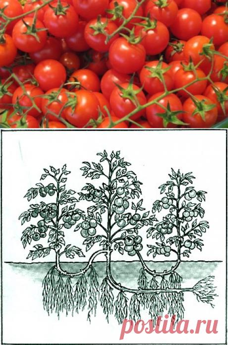 Увеличение урожая помидоров в 8 раз