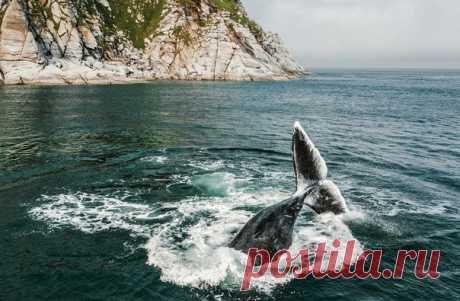 Гренландский кит бьет хвостом по воде. Автор фото – Михаил Коростелев: nat-geo.ru/community/user/50127/