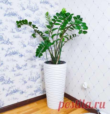 Замиокулькас «раскидал» листья? Делюсь простым и недорогим решением | Антон - цветочник | Яндекс Дзен
