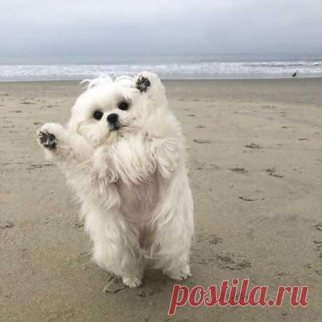 Очаровательная собака, которая любит поднимать передние лапки Эту очаровательную мальтийскую болонку по кличке Коко (Coco) однажды научили этому трюку, и теперь она постоянно поднимает лапки в приветственном жесте. По словам хозяев, теперь она делает это там, где хочет, и тогда, когда хочет.