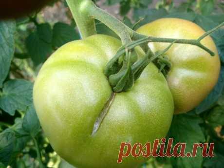 8 серьезных ошибок в уходе за томатами летом | 6 соток