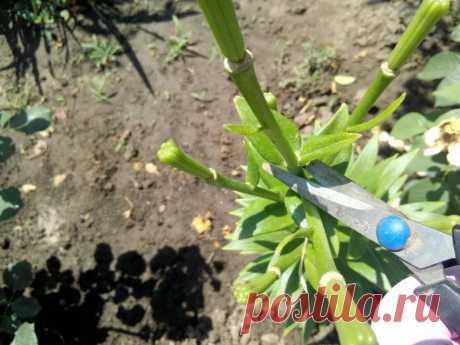 5 важных процедур после цветения лилий