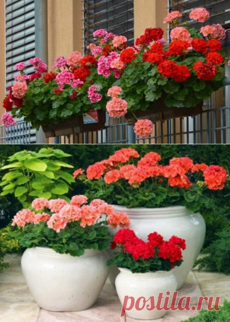 Самый простой рецепт эликсира для пышного цветения герани — Копилочка полезных советов