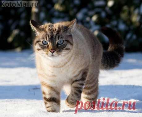 El gato de nieve