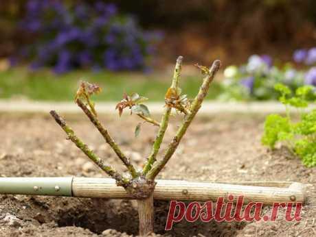 Правила посадки роз осенью