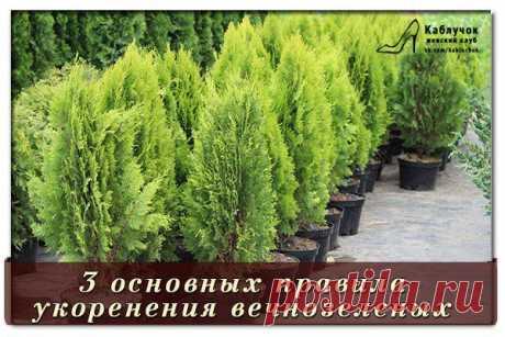 3 основных правила укоренения вечнозеленых.