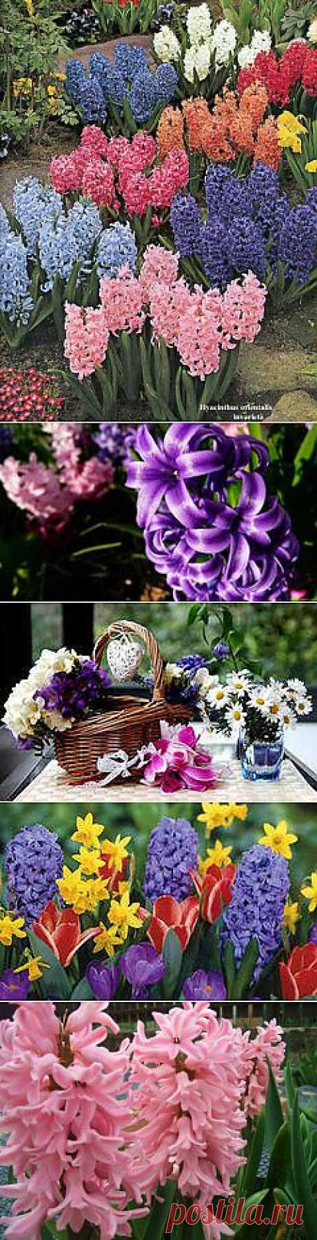фото цветы гиацинт: