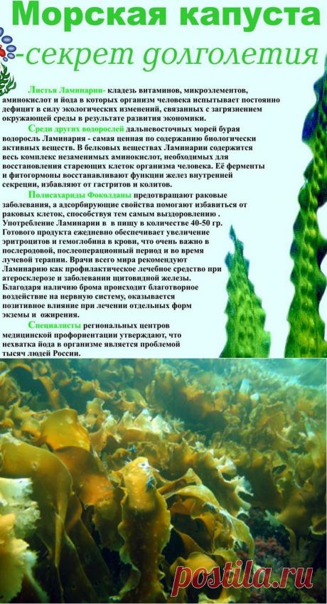 Удивительная полезная водоросль ламинария