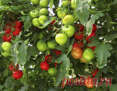 Уникальный способ выращивания томатов — небывалый урожай! - Цветочки - медиаплатформа МирТесен