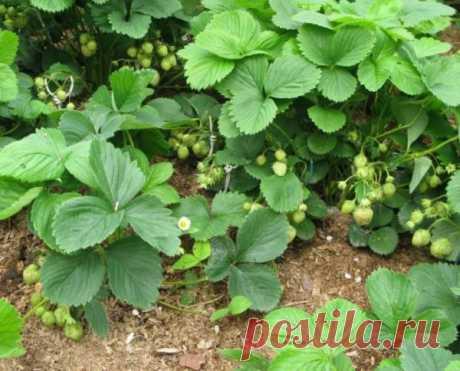 Чем обработать клубнику осенью от вредителей и болезней (фото, видео)