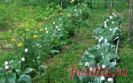 Яичная скорлупа защитит огород от вредителей Несколько лет назад на каком-то сайте я прочла о том, что можно вырастить капусту, не погрызенную крестоцветными блошками и гусеницами бабочки-капустницы. Для этого нужно лишь одно — скорлупа бе...