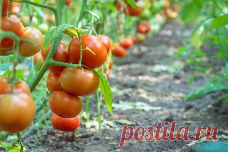 Неприхотливые и урожайные: выращиваем лучшие штамбовые сорта томатов в открытом грунте - Женский блог