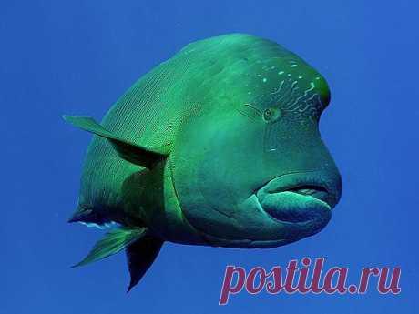 Удивлённый взгляд. Рыба-наполеон, Египет. | ПолонСил.ру - социальная сеть здоровья
