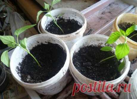 ПОЧЕМУ РАССАДА ПЕРЦЕВ ПАДАЕТ: 5 ПРИЧИН  Рассада перцев может падать потому что вы посадили изначально семена в пораженный грунт, в больную почву. Чаще всего почва может быть поражена грибками рода фузариоз. В такой почве растения погибают, а если приживаются, то урожай будет очень плохой. Также вы могли посадить пустые семена, поврежденные. Чтобы этого избежать, нужно обязательно перед посадкой проверить семена на всхожесть. Если вы перекормили грунт или рассаду удобрениям...