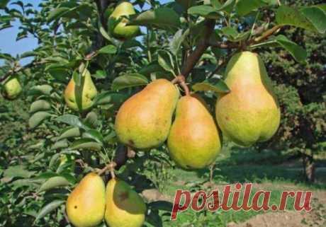 Лучшие сорта груш: названия, описание с фото, отзывы