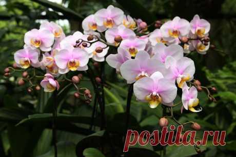 Янтарная кислота для орхидей — тайный секрет моей свекрови | Цветы в квартире и на даче – от Радзевской Виктории | Яндекс Дзен