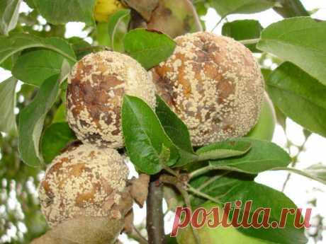 Гниют яблоки на дереве. Плодовая гниль - монилиоз, что делать как лечить