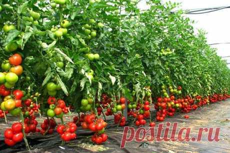 Какие сорта томатов дают самый большой урожай :: Сад и огород