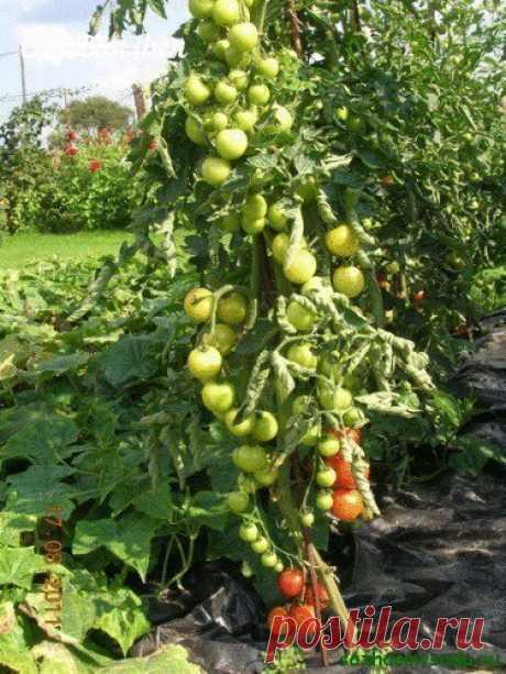 «Ленивый» способ выращивания помидоров | 6 соток