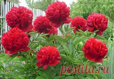 Соперник розы  Пион – достойный соперник розы. У китайцев он считается цветком номер один, как у японцев хризантема, а у европейцев роза. Принадлежит пион к семейству Пионовых, он в гордом одиночестве представляет …