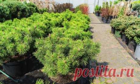 Sound sleep — guarantee of health or How to keep saplings before spring landing