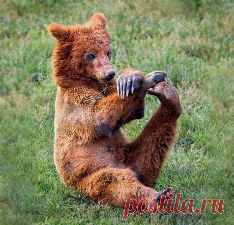 Молодой медведь занимается утренней йогой Фото @marinacano