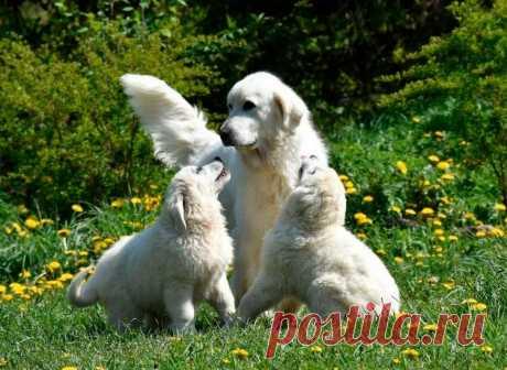 «Польская подгалянская овчарка» — карточка пользователя Валентина в Яндекс.Коллекциях