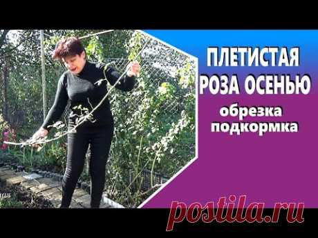 Плетистые розы осенью Последняя подкормка обрезка подготовка к зиме - YouTube