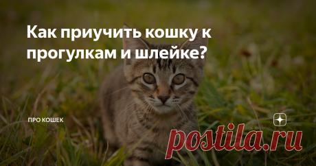 Как приучить кошку к прогулкам и шлейке? Если Вы планируете начать выводить своего питомца на прогулки, наберитесь терпения, ведь животному потребуется время, чтобы привыкнуть, вот пошаговая инструкция по приучению