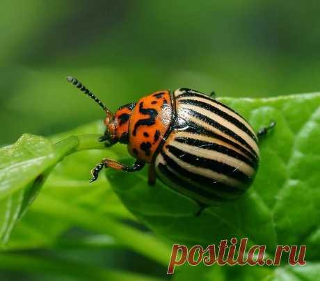 Как «заставить» колорадского жука уничтожать самого себя | 6 соток