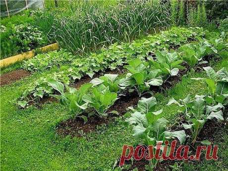 СОВЕТЫ ДАЧНИКАМ  Севооборот 1-й год — капуста, брюква, редька, редис; 2-й год — тыква, огурцы, кабачки; 3-й год — свекла, морковь, петрушка, лук, чеснок; 4-й год — помидоры, перец, баклажаны, бобовые, кукуруза.  Овощи-предшественники для капусты — картофель, огурцы, лук, горох, допустимы и томаты; для помидоров, перца — огурцы, лук, бобовые, допустима капуста; для огурцов — горох, бобовые, картофель, помидоры; для лука — картофель, помидоры, горох, огурцы, а также капуста;...