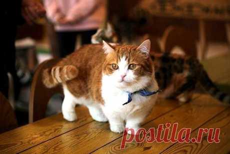 Самые удивительные породы кошек: Манчкин