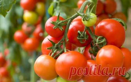 Крапива для томатов - лучший друг и помощник — Садоводка