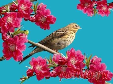 El canto de la Alondra. Ornitoterapiya: crea la alegría, la tranquilidad en la ducha, normaliza la tensión arterial