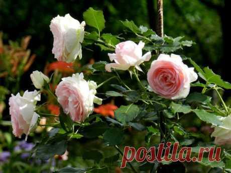 Хлебная закваска — необычное удобрение для роз! — 6 соток