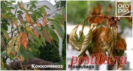 Почему вишня не плодоносит – 7 самых частых причин | В саду (Огород.ru)