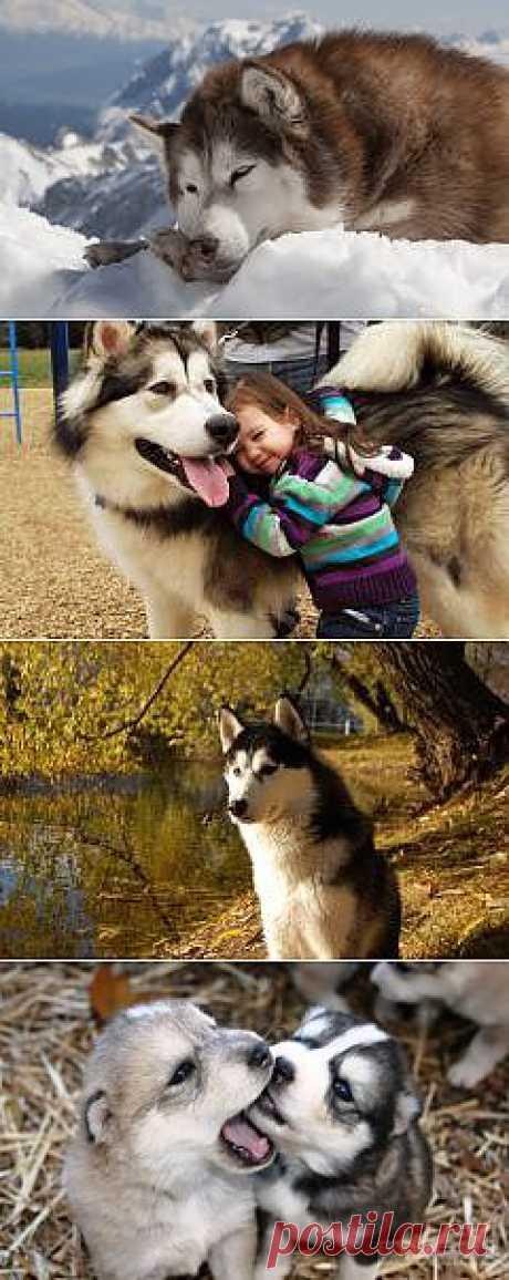 Аляскинский маламут продам фото собаки, Аляскинский маламут продам щенка фото породы собак обои, фото фотографии на рабочий стол красивые животные картинки dog breed изображение